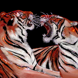 Пазл онлайн: Бенгальские тигры