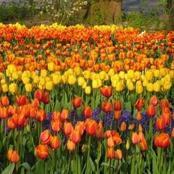 Пазл онлайн: Тюльпановые поля