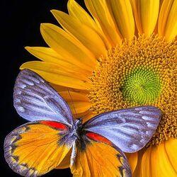Пазл онлайн: Подсолнух и бабочка