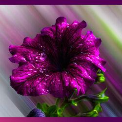 Пазл онлайн: Красивая петуния