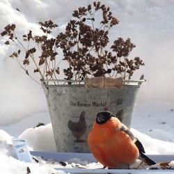 Пазл онлайн: Снегирь