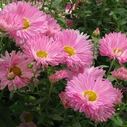 Пазл онлайн: Дачные осенние цветы