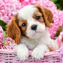 Пазл онлайн: Милый щенок