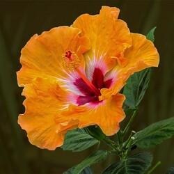Пазл онлайн: Красивый оранжевый гибискус