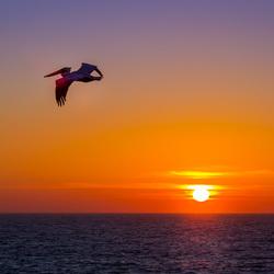 Пазл онлайн: Пеликан