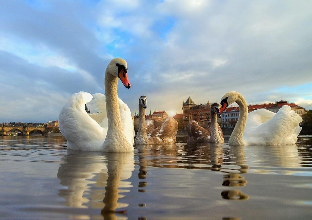 блестящей фото лебеди с вв кодами общественный фонд содействия