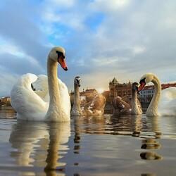 Пазл онлайн: Лебеди на Влтаве