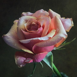 Пазл онлайн: Роза