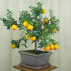 Пазл онлайн: Апельсиновое дерево