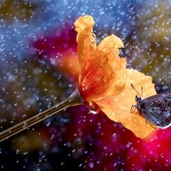 Пазл онлайн: Бабочка под дождём