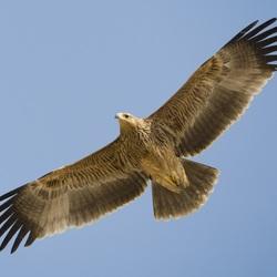 Пазл онлайн: Орел