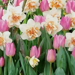 Пазл онлайн: Тюльпаны и нарциссы