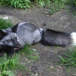 Пазл онлайн: Чёрно-бурая лисица