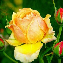 Пазл онлайн: Чайная роза