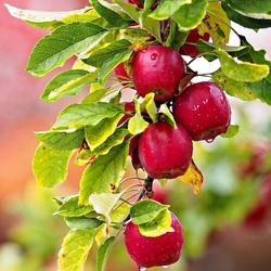 Пазл онлайн: Ветка яблок