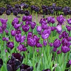 Пазл онлайн: Черные тюльпаны
