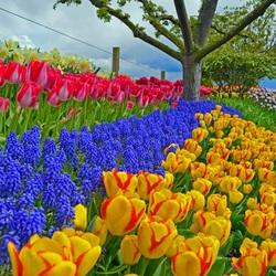 Пазл онлайн: Нарциссы, мускари и тюльпаны