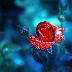 Пазл онлайн: Алая роза