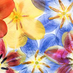 Пазл онлайн: Красота тюльпана