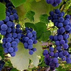 Пазл онлайн: Синий виноград