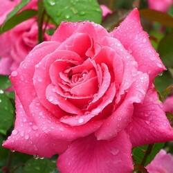 Пазл онлайн: Как хороши, как свежи были розы