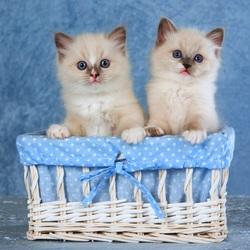 Пазл онлайн: Котята в корзинке