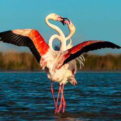 Пазл онлайн: Фламинго в брачном танце