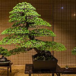Пазл онлайн: Выставка бонсай