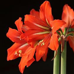 Пазл онлайн: Амариллис оранжевый