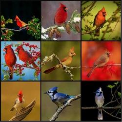 Пазл онлайн: Птица Кардинал