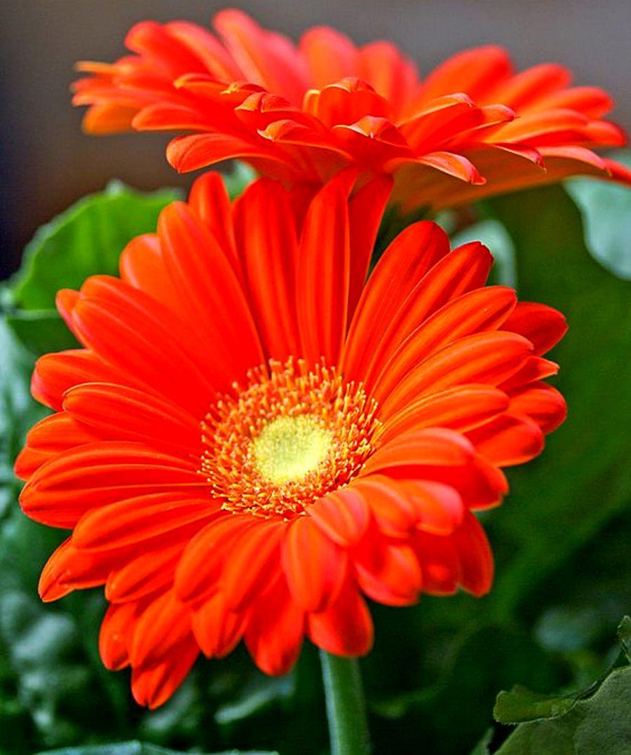 Цветок как ромашка только цветной