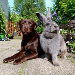 Пазл онлайн: Кролик-великан