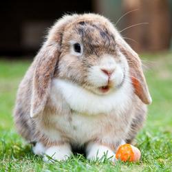 Пазл онлайн: Карликовый вислоухий кролик-баран