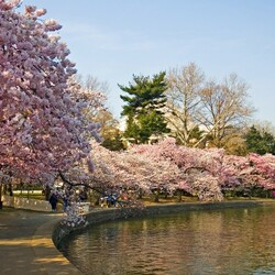 Пазл онлайн: Сезон сакуры