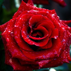 Пазл онлайн: Роза в росе