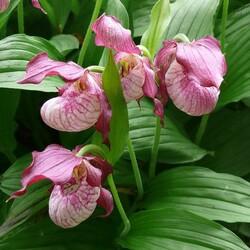 Пазл онлайн: Магия орхидеи