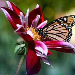 Пазл онлайн: Бабочка на георгине