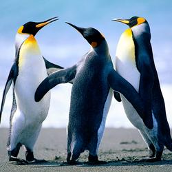 Пазл онлайн: Танцующие пингвины