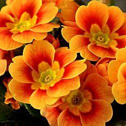 Пазл онлайн: Оранжевые цветы