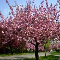 Пазл онлайн: Сакуры цветут