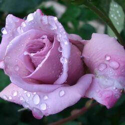 Пазл онлайн: Роза для любимой
