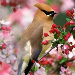 Пазл онлайн: Свиристели весной