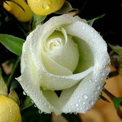 Пазл онлайн: Нежность розы