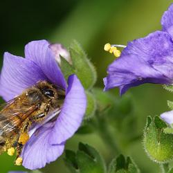 Пазл онлайн: Пчела на цветке