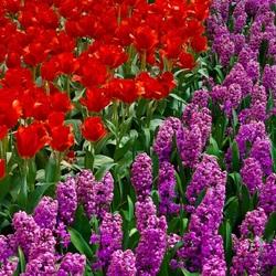 Пазл онлайн: Тюльпаны и гиацинты