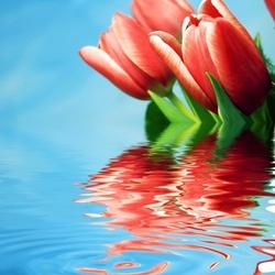 Пазл онлайн: Тюльпаны на воде