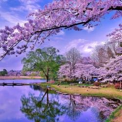 Пазл онлайн: Цветение сакуры