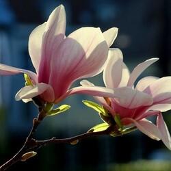 Пазл онлайн: Цветение магнолии