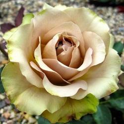 Пазл онлайн: Роза Амнезия