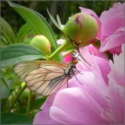 Пазл онлайн: Бабочка на цветке